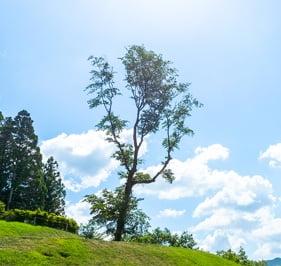 樹木葬 大木(桜)