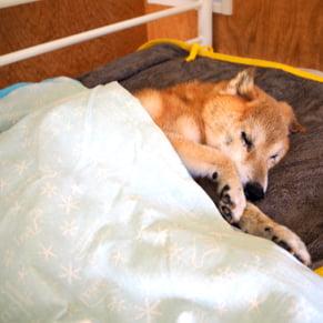 療養ケア 老犬が寝ている写真