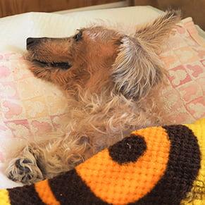 老犬が寝ている写真