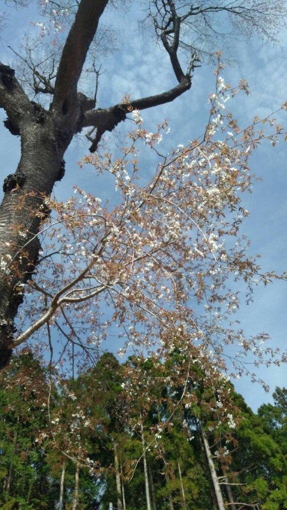 D.C.の山桜は二部咲き