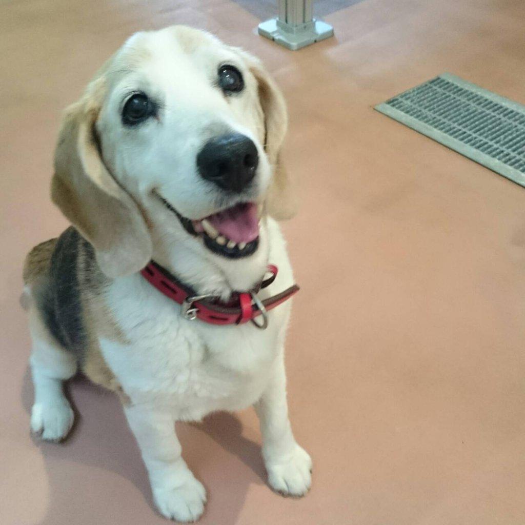 15歳のビーグル犬 メリーちゃんがやってきた