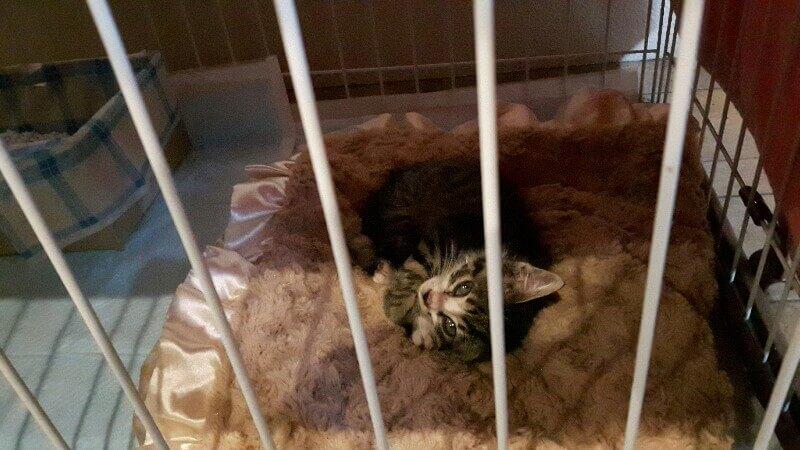 子猫ちゃんお預かり 岐阜から来たシオンちゃんは生後2ヶ月くらい