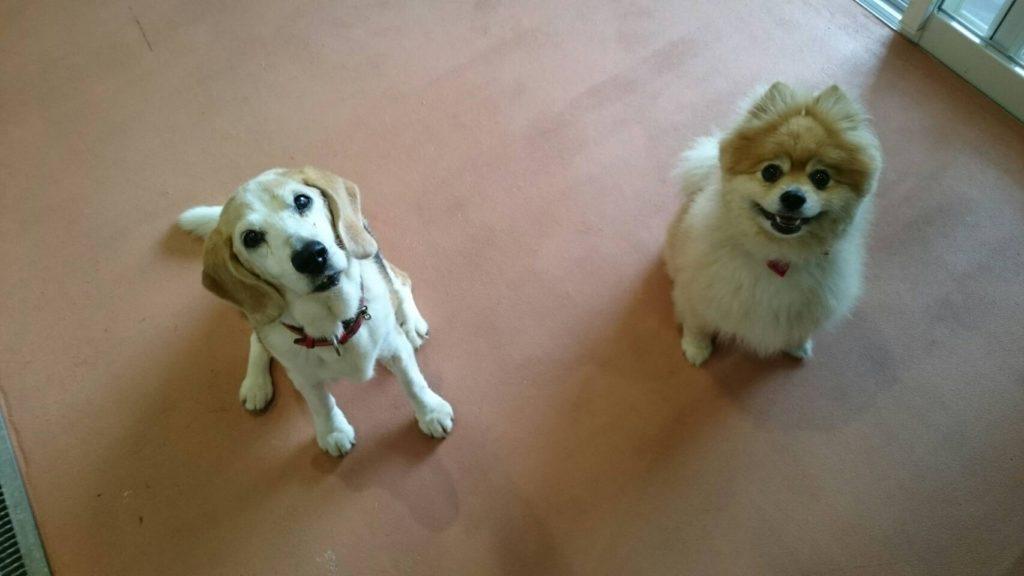 ビーグル犬のメリーちゃんとポメラニアンのロコちゃん