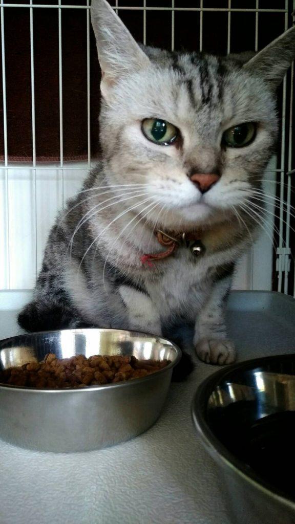 3ヶ月のお預かり中 豊橋から来た猫のゴンチャンは17歳