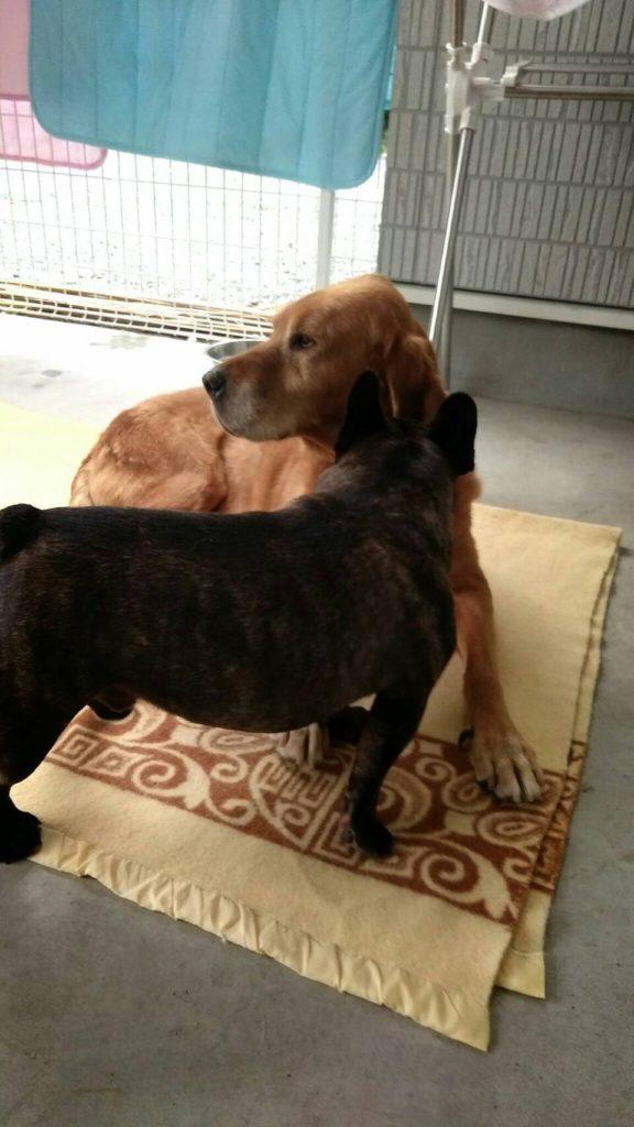 ワンコの新しいお友達 アイリッシュセッターとラブラドールレトリバーのMIX犬 てっちゃん