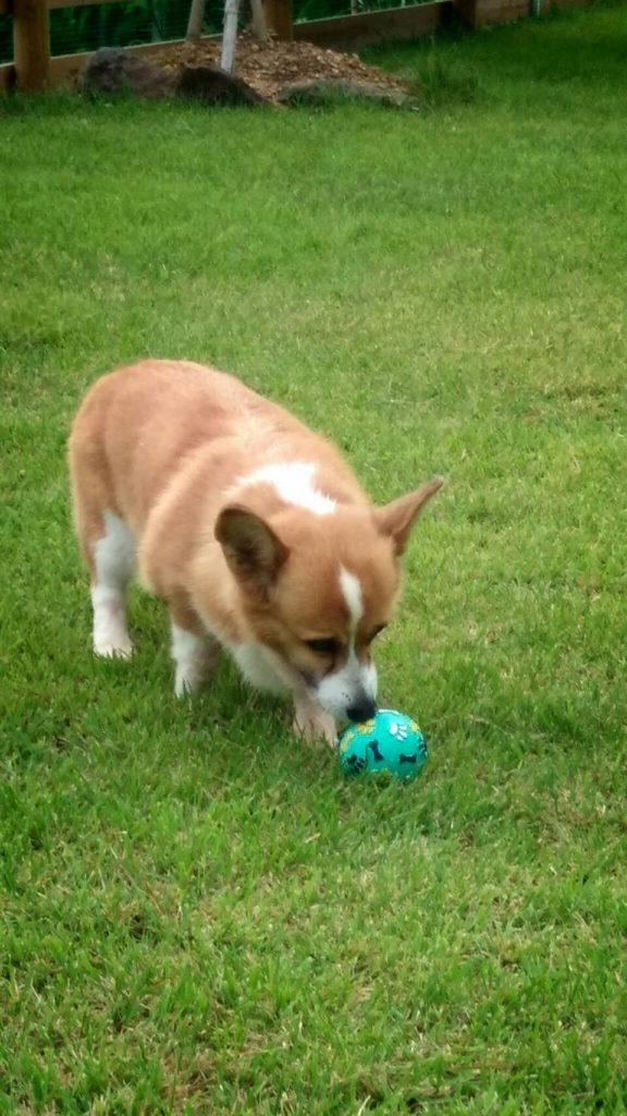 ボール遊びに夢中 コーギーのマンディーちゃん
