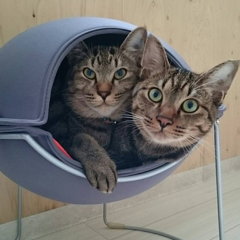 長期お預かり中の兄弟ネコはとても仲良し