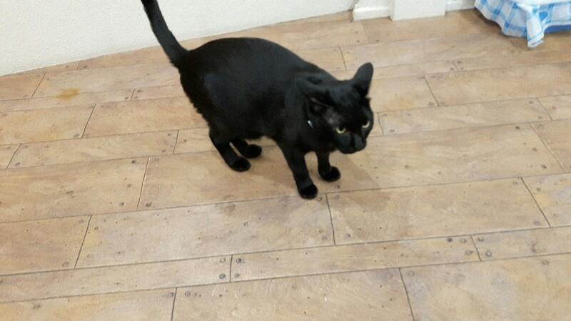 超レア 黒猫のりんくん