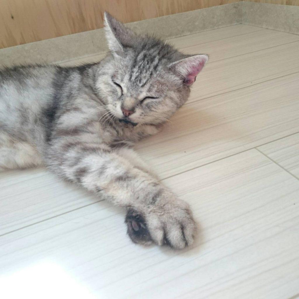 猫のミーコ ストレスフリーの猫舎で 暖か…ウトウト…