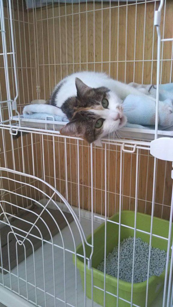 長期お預かり中の猫ちゃん ニャロメのかわいい視線