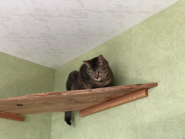 長期お預かり中のキジトラ猫セブン 高みの見物編