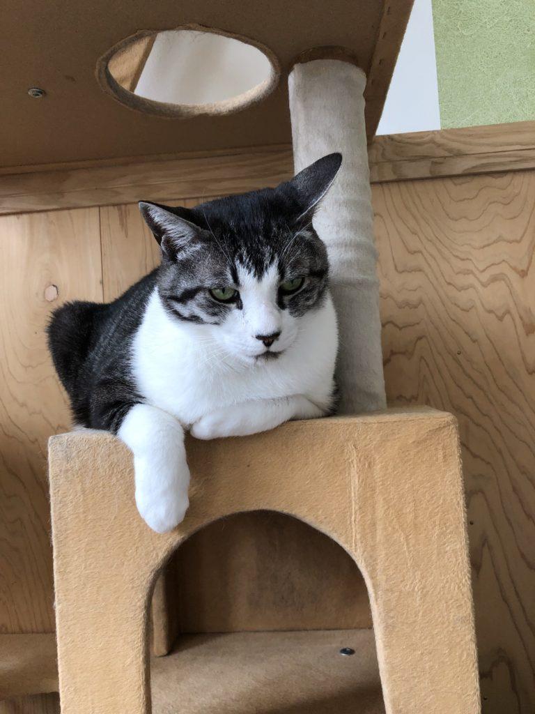 生涯お預かり中 まろちゃんはイケメン猫