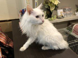 猫ちゃん 長期お預かりマリンちゃん18歳
