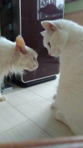 お預かり中の白猫ちゃん 実は姉弟 !