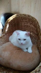白猫 3歳 なーちゃん