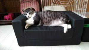 猫・7歳・サバトラ猫 貫禄なお昼寝タイム