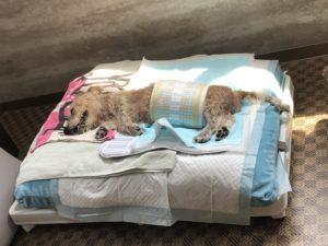 老犬の介護記録 生涯預かり
