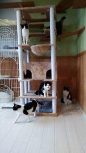 猫 黒白ハチワレの賢いちゃん