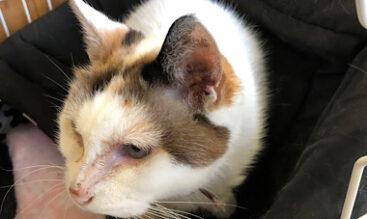 愛猫の目に現れる病気の症状